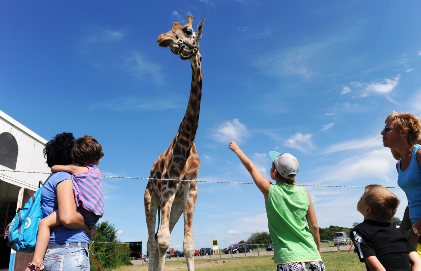 Giraffe van circus Belly (Scharendijke)